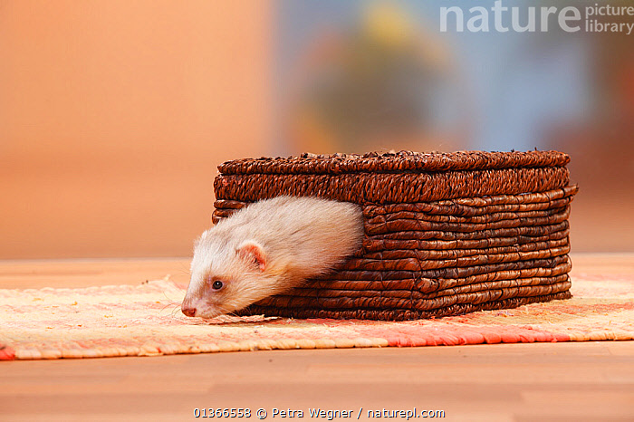 Ferret (Mustela putorius forma domestica) escaping from box.  ,  BOXES,CARNIVORES,CUTE,HUMOROUS,INDOORS,MAMMALS,MUSTELIDS,NAUGHTY,PETS,PLAY,PLAYING,PORTRAITS,VERTEBRATES,WEASELS,Concepts,Communication  ,  Petra Wegner