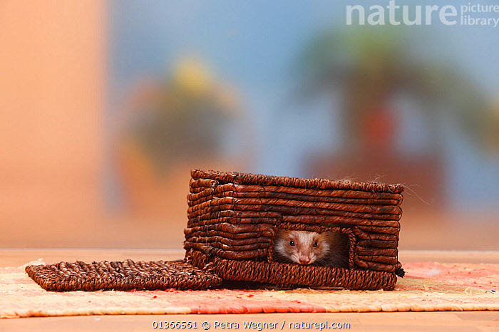 Ferret (Mustela putorius forma domestica) hiding in box.  ,  CARNIVORES,CUTE,HIDING,INDOORS,MAMMALS,MUSTELIDS,NAUGHTY,PETS,PLAY,PLAYING,VERTEBRATES,WEASELS,Communication  ,  Petra Wegner