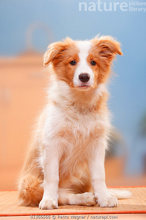 Border Collie puppy, 14 weeks, Australian red-white.  ,  BABIES,CUTE,DOGS,FULL FRAME,INDOORS,MEDIUM DOGS,PASTORAL DOGS,PETS,PORTRAITS,PUP,PUPPIES,PUPPY,PUPS,SITTING,VERTEBRATES,VERTICAL,YOUNG,Canids  ,  Petra Wegner