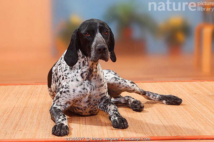 German Shorthaired Pointer bitch, lying.  ,  CUTE,DOGS,FEMALES,GUN DOGS,INDOORS,LARGE DOGS,LYING,PETS,PORTRAITS,VERTEBRATES,WIRE HAIRED,Canids  ,  Petra Wegner