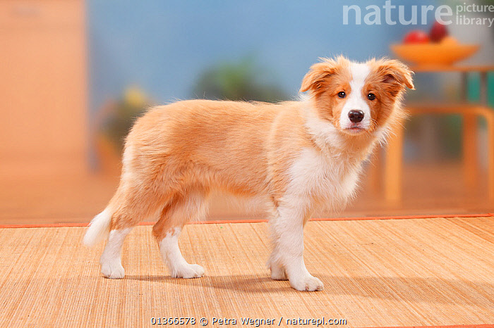 Border Collie puppy, 14 weeks, Australian red-white.  ,  BABIES,CUTE,DOGS,INDOORS,MEDIUM DOGS,PASTORAL DOGS,PETS,PORTRAITS,PROFILE,PUP,PUPPIES,PUPPY,PUPS,STANDING,VERTEBRATES,YOUNG,Canids  ,  Petra Wegner