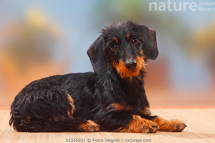 Miniature Wirehaired Dachshund lying.  ,  CUTE,DOGS,INDOORS,LYING,PETS,PORTRAITS,SMALL,SMALL DOGS,TOY DOGS,VERTEBRATES,Canids  ,  Petra Wegner