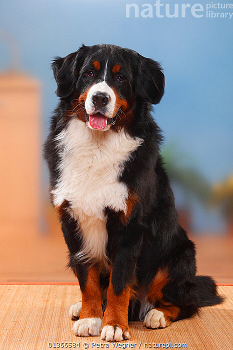 Bernese Mountain Dog, male sitting.  ,  CUTE,DOGS,EXTRA LARGE DOGS,FULL FRAME,INDOORS,PETS,PORTRAITS,SITTING,VERTEBRATES,VERTICAL,WORKING DOGS,Canids  ,  Petra Wegner