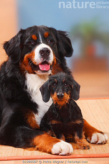 Bernese Mountain Dog and Miniature Wirehaired Dachshund.  ,  COLOUR COORDINATED,CUTE,DOGS,EXTRA LARGE DOGS,FRIENDS,GROUPS,INDOORS,LYING,PETS,PORTRAITS,SITTING,SMALL DOGS,TOY DOGS,VERTEBRATES,VERTICAL,WORKING DOGS,Canids  ,  Petra Wegner