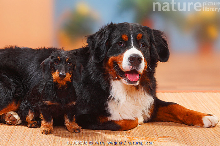 Bernese Mountain Dog and Miniature Wirehaired Dachshund.  ,  CUTE,DOGS,EXTRA LARGE DOGS,FRIENDS,GROUPS,INDOORS,LYING,PETS,PORTRAITS,SITTING,SMALL DOGS,TOY DOGS,VERTEBRATES,WORKING DOGS,Canids  ,  Petra Wegner