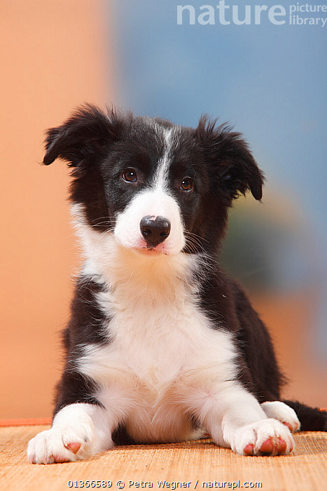 Border Collie puppy, 13 weeks.  ,  animal marking,animal portrait,BABIES,BLACK,black colour,Border Collie,catalogue4,close up,CUTE,DOGS,EXPRESSIONS,facial expression,front view,INDOORS,lying,medium dogs,Nobody,one animal,pastoral dogs,PETS,PORTRAITS,pup,puppies,puppy,pups,sadness,VERTEBRATES,VERTICAL,WHITE,white colour,YOUNG,young animal,Canids  ,  Petra Wegner