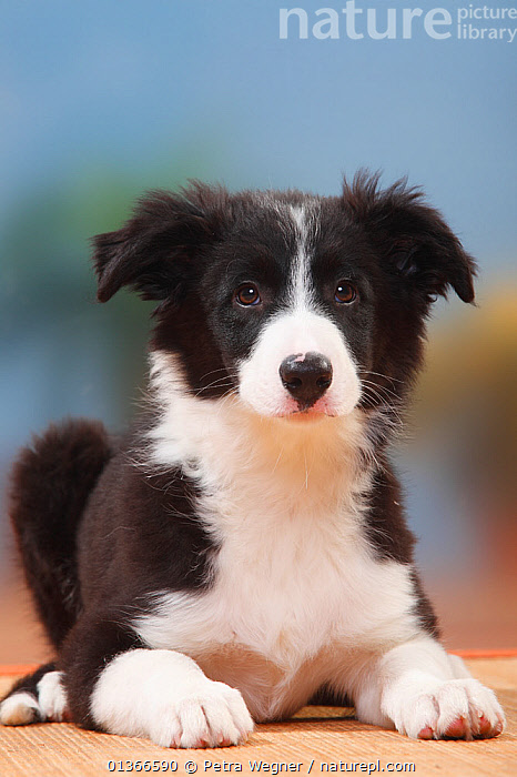 Border Collie puppy, 13 weeks.  ,  BABIES,CUTE,DOGS,INDOORS,MEDIUM DOGS,PASTORAL DOGS,PETS,PORTRAITS,PUP,PUPPIES,PUPPY,PUPS,SMALL,VERTEBRATES,VERTICAL,YOUNG,Canids  ,  Petra Wegner