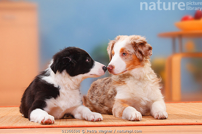 Australian Shepherd, puppy, 19 weeks, and Border Collie, puppy, 13 weeks.  ,  AFFECTIONATE,BABIES,COLOUR DIMORPHISM,CUTE,DOGS,FAMILIES,INDOORS,KISSING,LYING,MEDIUM DOGS,PASTORAL DOGS,PETS,PORTRAITS,PUP,PUPPIES,PUPPY,PUPS,SIBLINGS,TWO,VERTEBRATES,YOUNG,Canids  ,  Petra Wegner