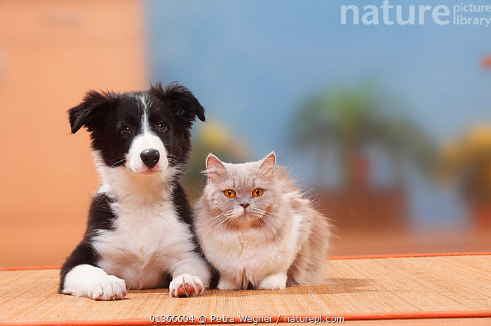 Border Collie, puppy, 13 weeks, British Longhair, lilac-white / Highlander, Lowlander, Britannica.  ,  BABIES,CAT,CATS,CUTE,DOGS,FELIDS,FRIENDS,GROUPS,INDOORS,KITTEN,KITTENS,MEDIUM DOGS,PASTORAL DOGS,PETS,PORTRAITS,PUP,PUPPIES,PUPPY,PUPS,VERTEBRATES,YOUNG,Canids  ,  Petra Wegner