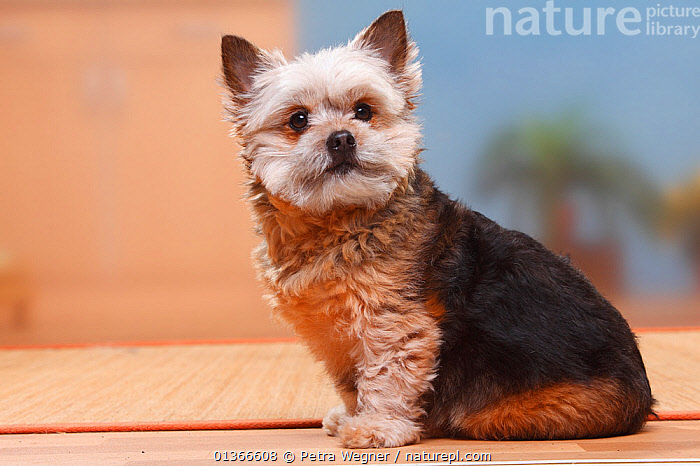 Mixed Breed Small Dog, 6 years.  ,  CUTE,DOGS,INDOORS,LOOKING AT CAMERA,MIXED BREEDS,PETS,PORTRAITS,PROFILE,SITTING,SMALL,SMALL DOGS,TOY DOGS,VERTEBRATES,Canids  ,  Petra Wegner