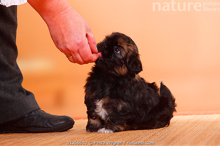 Shih Tzu puppy, 6 weeks, getting treat  ,  BABIES,CUTE,DOGS,FEEDING,INDOORS,PETS,PORTRAITS,PUP,PUPPIES,PUPPY,PUPS,SITTING,SMALL DOGS,TOY DOGS,VERTEBRATES,YOUNG,Canids  ,  Petra Wegner