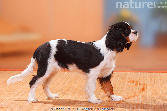 Cavalier King Charles Spaniel puppy, tricolour, 5 months.  ,  BABIES,CUTE,DOGS,INDOORS,PETS,PORTRAITS,PROFILE,PUP,PUPPIES,PUPPY,PUPS,SMALL DOGS,STANDING,TOY DOGS,VERTEBRATES,YOUNG,Canids  ,  Petra Wegner