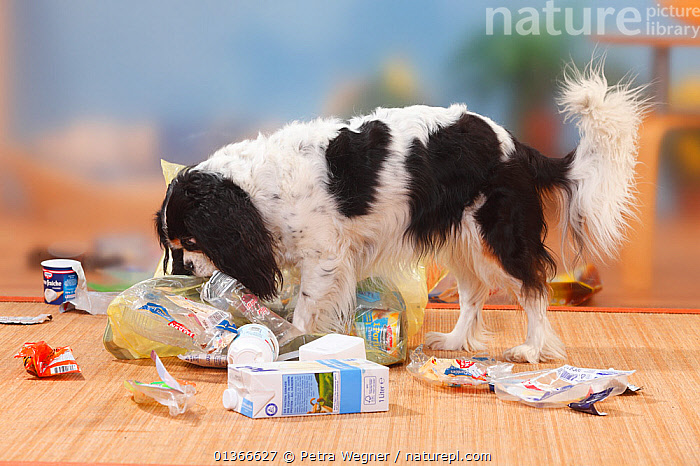 Cavalier King Charles Spaniel, tricolour, going through rubbish  ,  CUTE,DOGS,INDOORS,MESS,MESSY,NAUGHTY,PETS,PLAY,PLAYING,PORTRAITS,SMALL DOGS,TOY DOGS,TROUBLE,VERTEBRATES,Communication,Canids,,Litter,Pollution,Waste,  ,  Petra Wegner