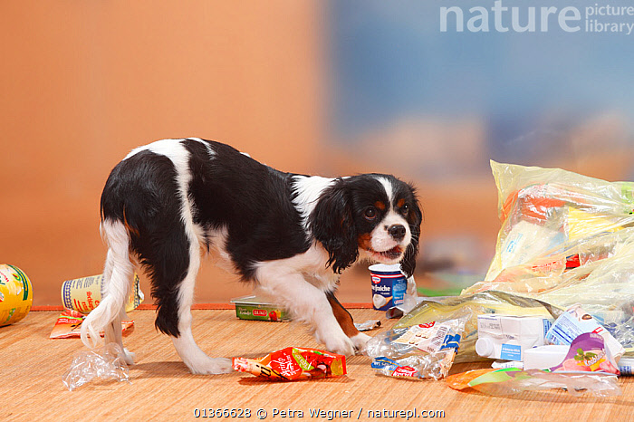 Cavalier King Charles Spaniel, puppy, 5 months, tricolour, going through rubbish  ,  BABIES,CUTE,DOGS,INDOORS,MESS,MESSY,NAUGHTY,PETS,PLAY,PLAYING,PORTRAITS,PUP,PUPPIES,PUPPY,PUPS,SMALL DOGS,TOY DOGS,TROUBLE,VERTEBRATES,YOUNG,Communication,Canids,,Litter,Pollution,Waste,  ,  Petra Wegner