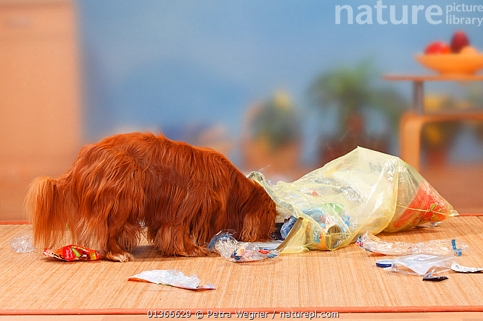 Cavalier King Charles Spaniel, ruby, going through rubbish  ,  CUTE,DOGS,INDOORS,MESS,MESSY,NAUGHTY,PETS,PLAY,PLAYING,PORTRAITS,SMALL DOGS,TOY DOGS,TROUBLE,VERTEBRATES,Communication,Canids,,Litter,Pollution,Waste,  ,  Petra Wegner