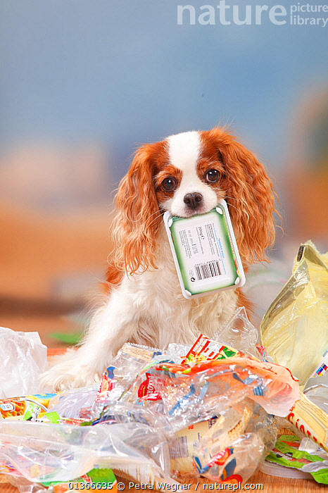 Cavalier King Charles Spaniel, blenheim, going through rubbish  ,  CUTE,DOGS,INDOORS,LOOKING AT CAMERA,MESS,MESSY,NAUGHTY,PETS,PORTRAITS,RUBBISH,SITTING,SMALL DOGS,TOY DOGS,TROUBLE,VERTEBRATES,VERTICAL,Canids,,Litter,Pollution,Waste,  ,  Petra Wegner