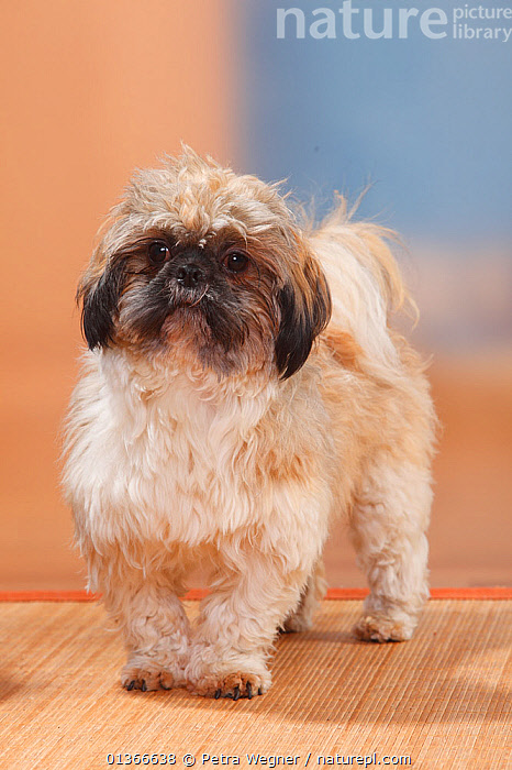 Shih Tzu, sheared, standing.  ,  CUTE,DOGS,INDOORS,LOOKING AT CAMERA,PETS,PORTRAITS,SMALL DOGS,STANDING,TOY DOGS,VERTEBRATES,VERTICAL,Canids  ,  Petra Wegner