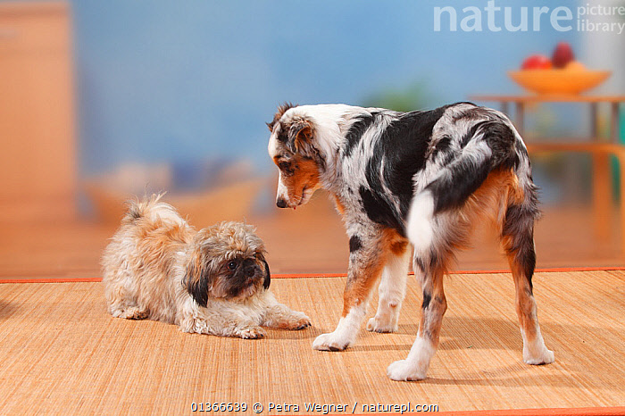 Shih Tzu, sheared, and Australian Shepherd, blue-merle, 5 months.  ,  CUTE,DOGS,FRIENDS,GROUPS,INDOORS,MEDIUM DOGS,MIXED BREED,PASTORAL DOGS,PETS,PLAY,PLAY BOW,PLAYING,PORTRAITS,SMALL DOGS,TOY DOGS,TWO,VERTEBRATES,YOUNG,Communication,Canids  ,  Petra Wegner