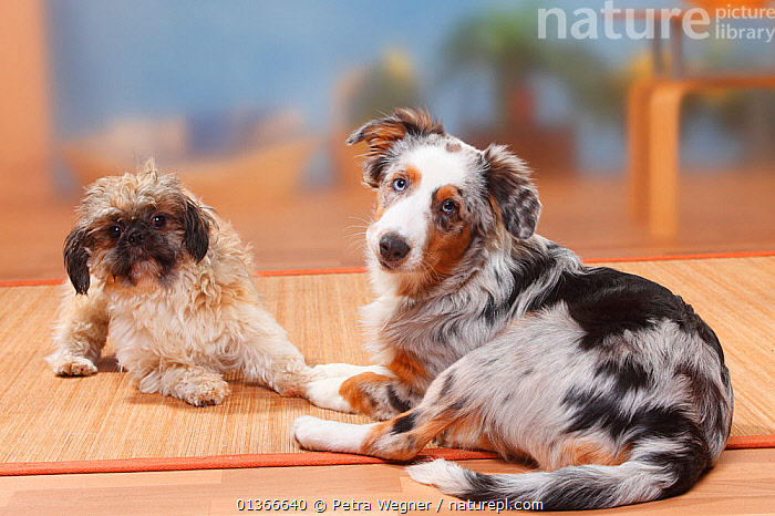 Shih Tzu, sheared, and Australian Shepherd, blue-merle, 5 months.  ,  CUTE,DOGS,FRIENDS,GROUPS,INDOORS,LOOKING AT CAMERA,LYING,MEDIUM DOGS,MIXED BREED,PASTORAL DOGS,PETS,PORTRAITS,SMALL DOGS,TOY DOGS,TWO,VERTEBRATES,Canids  ,  Petra Wegner
