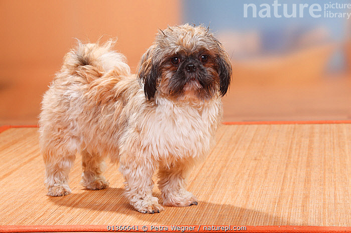Shih Tzu, sheared, standing.  ,  CUTE,DOGS,INDOORS,PETS,PORTRAITS,PROFILE,SMALL DOGS,STANDING,TOY DOGS,VERTEBRATES,Canids  ,  Petra Wegner
