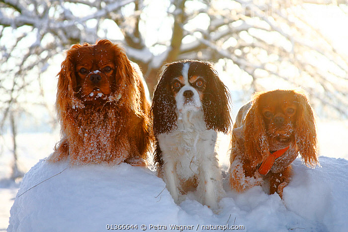 Cavalier King Charles Spaniels, ruby and tricolour, sitting in snow.  ,  DOGS,FAMILIES,FRIENDS,GROUPS,OUTDOORS,PETS,PORTRAITS,SIBLINGS,SITTING,SMALL DOGS,SNOW,THREE,TOY DOGS,VERTEBRATES,Canids  ,  Petra Wegner