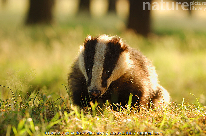 Badger (Meles meles) adult crossing field in evening light, Derbyshire, UK  ,  2020VISION,BACKLIT,BADGERS,CARNIVORES,ENGLAND,EUROPE,FARMLAND,FARMS,MAMMALS,MUSTELIDAE,UK,VERTEBRATES,United Kingdom  ,  Andrew Parkinson / 2020VISION