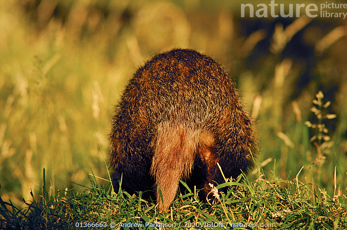 Badger (Meles meles) rear view of sub-adult,  Derbyshire, UK  ,  2020VISION,BADGERS,BOTTOMS,CARNIVORES,ENGLAND,EUROPE,FARMLAND,FARMS,HUMOROUS,MAMMALS,MUSTELIDAE,REAR,TAILS,UK,VERTEBRATES,Concepts,United Kingdom  ,  Andrew Parkinson / 2020VISION