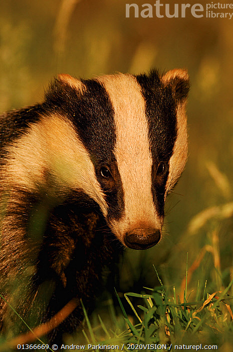 Badger (Meles meles) young adult, portrait, Derbyshire, UK  ,  2020VISION,BADGERS,CARNIVORES,ENGLAND,EUROPE,FARMLAND,FARMS,MAMMALS,MUSTELIDAE,PORTRAITS,UK,VERTEBRATES,VERTICAL,United Kingdom  ,  Andrew Parkinson / 2020VISION