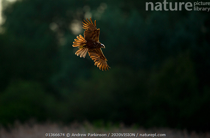 Marsh harrier (Circus aeruginosus) adult female in flight over reedbeds, backlit, Norfolk, UK, April  ,  ACCIPITRIDAE,BIRDS,BIRDS OF PREY,ENGLAND,EUROPE,FEMALES,FLYING,HARRIERS,RESERVE,UK,VERTEBRATES,WETLANDS,United Kingdom  ,  Andrew Parkinson / 2020VISION