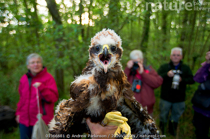 Marsh harrier (Circus aeruginosus) chick, removed from its nest to be sexed, weighed and ringed by licensed professional, Phil Littler, shows its displeasure at being handled. Watched by reserve volunteers, Sculthorpe Nature Reserve, Norfolk, UK, June 2010. 2020VISION Book Plate.  ,  2020VISION,2020vision book plate,Accipitridae,BIRDS,BIRDS OF PREY,CHICKS,ENGLAND,EUROPE,HARRIERS,looking at camera,MAN,outdoors,PEOPLE,PHOTOGRAPHY,RESEARCH,RESERVE,tagging,UK,VERTEBRATES,VOCALISATION,volunteering ,WETLANDS,United Kingdom  ,  Andrew Parkinson / 2020VISION