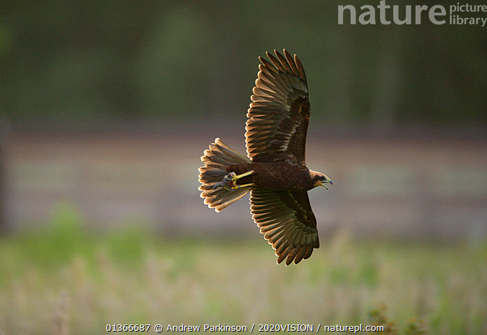 Marsh harrier (Circus aeruginosus) newly fledged sub-adult calling in flight, in its talons are the remains of a rabbit which it has received from an adult, Norfolk, UK, August  ,  2020VISION,ACCIPITRIDAE,BIRDS,BIRDS OF PREY,CUTOUT,ENGLAND,EUROPE,FLYING,HARRIERS,JUVENILE,REEDBEDS,REEDS,RESERVE,UK,VERTEBRATES,WETLANDS,United Kingdom  ,  Andrew Parkinson / 2020VISION