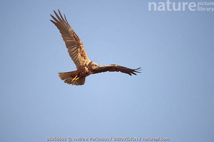 Marsh harrier (Circus aeruginosus) adult female in flight, Norfolk, UK, April  ,  2020VISION,ACCIPITRIDAE,BIRDS,BIRDS OF PREY,CUTOUT,ENGLAND,EUROPE,FEMALES,FLYING,HARRIERS,LOW ANGLE SHOT,PORTRAITS,REEDBEDS,REEDS,RESERVE,UK,VERTEBRATES,WETLANDS,United Kingdom  ,  Andrew Parkinson / 2020VISION