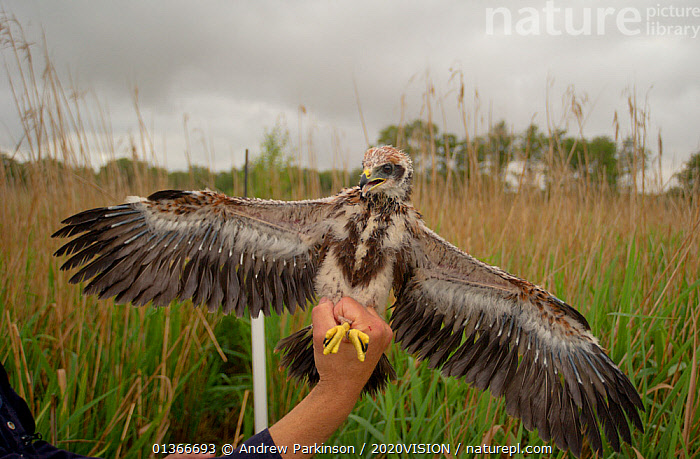 Marsh harrier (Circus aeruginosus) chick being released from a bag in which it was weighed, Sculthorpe Nature Reserve, Norfolk, UK, July 2010, Model released  ,  2020VISION,ACCIPITRIDAE,BIRDS,BIRDS OF PREY,CHICKS,ENGLAND,EUROPE,HANDS,HARRIERS,PEOPLE,REEDBEDS,REEDS,RESEARCH,RESERVE,THREATENED,UK,VERTEBRATES,VULNERABLE,WETLANDS,United Kingdom  ,  Andrew Parkinson / 2020VISION