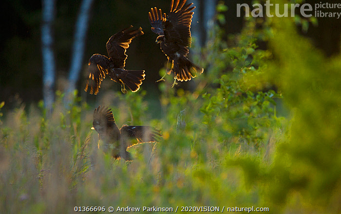 Marsh harrier (Circus aeruginosus) three sub-adult siblings squabbling in flight in the last rays of evening sunlight, Norfolk, UK, August  ,  2020VISION,ACCIPITRIDAE,BEHAVIOUR,BIRDS,BIRDS OF PREY,CHICKS,ENGLAND,EUROPE,FIGHTING,FLEDGLINGS,FLYING,HABITAT,HANDS,HARRIERS,JUMPING,JUVENILE,PLAY,PLAYING,REEDBEDS,REEDS,RESERVE,THREATENED,UK,VERTEBRATES,VULNERABLE,WETLANDS,Aggression,Communication,United Kingdom,2020cc  ,  Andrew Parkinson / 2020VISION