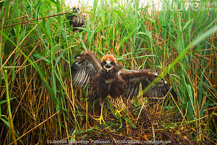 Marsh harrier (Circus aeruginosus) chick at its nest site, defiant as it is approached by a licenced bird ringer, Sculthorpe Nature Reserve, Norfolk, UK, July 2010  ,  2020VISION,ACCIPITRIDAE,BEHAVIOUR,BIRDS,BIRDS OF PREY,CHICKS,ENGLAND,EUROPE,FLEDGLING,HARRIERS,NESTS,REEDBEDS,REEDS,RESERVE,THREATENED,UK,VERTEBRATES,VOCALISATION,VULNERABLE,WETLANDS,United Kingdom,2020cc  ,  Andrew Parkinson / 2020VISION