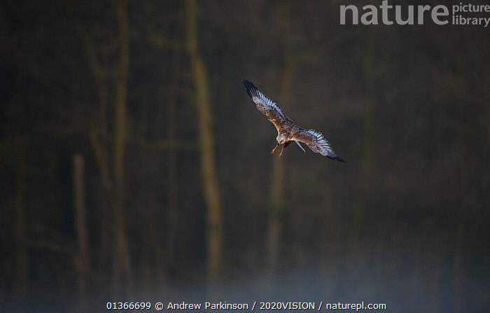 Marsh harrier (Circus aeruginosus) adult flying down to reedbed, Norfolk, UK, April  ,  2020VISION,ACCIPITRIDAE,BIRDS,BIRDS OF PREY,ENGLAND,EUROPE,FLYING,HARRIERS,REEDBEDS,REEDS,RESERVE,THREATENED,UK,VERTEBRATES,VULNERABLE,WETLANDS,United Kingdom  ,  Andrew Parkinson / 2020VISION