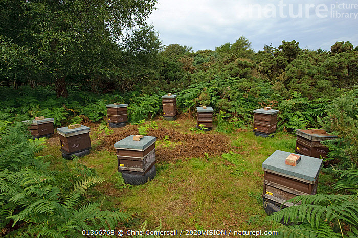 Honey bee (Apis mellifera) beehives sited on edge of heathland for premium heather honey production, Suffolk, UK, August 2011., 2020VISION,APIDAE,ARTHROPODS,BEE HIVE,BEE HIVES,BEEKEEPING,BEES,ENGLAND,EUROPE,HABITAT,HEATHLAND,HEATHS,HYMENOPTERA,INSECTS,INVERTEBRATES,SUFFOLK SANDLINGS,UK,United Kingdom ,honeybee,honeybees,2020cc, Chris Gomersall / 2020VISION