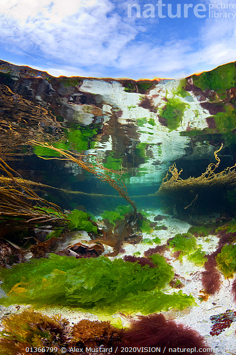 Meadow of seaweeds in a shallow channel between islands in the Cairns Of Coll, Island of Coll, Inner Hebrides, Scotland, UK, July  ,  2020VISION,ALGAE,ATLANTIC,COASTAL WATERS,EUROPE,GREEN,LANDSCAPES,MARINE,REFLECTIONS,SCOTLAND,SEABED,SEAS,SEAWEED,TEMPERATE,UK,UNDERWATER,VERTICAL,Plants,United Kingdom,2020cc  ,  Alex Mustard / 2020VISION