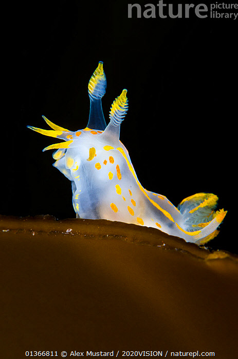 Nudibranch (Polycera quadrilineata) portrait on a kelp frond, Island of Coll, Inner Hebrides, Scotland, UK, June.  ,  2020VISION,ATLANTIC,EUROPE,GASTROPODS,INVERTEBRATES,MARINE,MOLLUSCS,NUDIBRANCHS,PORTRAITS,SCOTLAND,SEAS,TEMPERATE,UK,UNDERWATER,VERTICAL,YELLOW,United Kingdom,2020cc  ,  Alex Mustard / 2020VISION