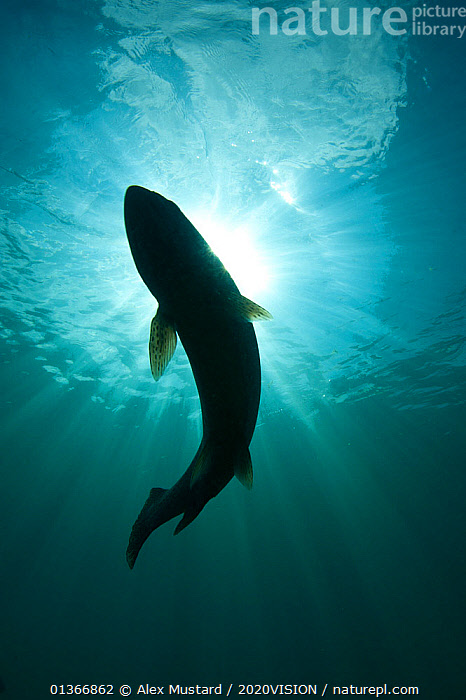 Silhouette of Brown trout (Salmo trutta) in  freshwater lake, Capernwray, Lancashire, UK, July  ,  2020VISION,ENGLAND,EUROPE,FISH,FRESHWATER,LAKES,LOW ANGLE SHOT,OSTEICHTHYES,RIVERS,RIVER TROUT,SILHOUETTES,TEMPERATE,TROUT,UK,UNDERWATER,VERTEBRATES,VERTICAL,United Kingdom,2020cc  ,  Alex Mustard / 2020VISION