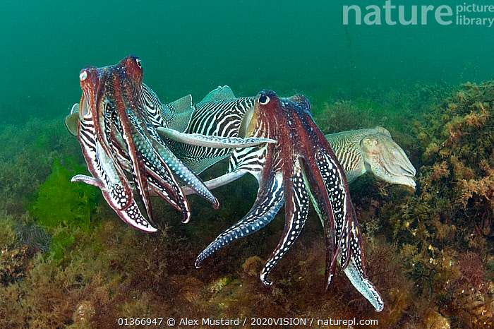 Two male Common cuttlefish (Sepia officinalis) compete for a female (on right) during courtship, Torbay, Devon, UK, May. 2020VISION Exhibition. 2020VISION Book Plate. Did you know? Cuttlefish have an outstanding ability to change their appearance, in colour and even the texture of their skin.  ,  2020VISION,2020vision book plate,2020vision exhibition,AGGRESSION,ATLANTIC,BEHAVIOUR,CEPHALOPODS,CUTTLEFISH,english channel,EUROPE,exhibition,picday,INVERTEBRATES,MALE FEMALE PAIR,MALES,MARINE,MATING BEHAVIOUR,MOLLUSCS,seas,TEMPERATE,THREE,UK,UNDERWATER,ENGLAND,United Kingdom,2020cc  ,  Alex Mustard / 2020VISION
