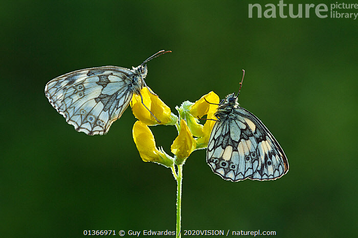 Two Marbled white butterflies (Melanagria galathea) resting on Meadow vetchling (Lathyrus pratensis), Powerstock Common DWT reserve, Dorset, UK, July  ,  2020VISION,ARTHROPODS,BUTTERFLIES,CUTOUT,ENGLAND,EUROPE,FARMLAND,FLOWERS,GRASSLAND,INSECTS,INVERTEBRATES,LEPIDOPTERA,NYMPHALIDAE,PROFILE,TWO,UK,YELLOW,United Kingdom,2020cc  ,  Guy Edwardes / 2020VISION
