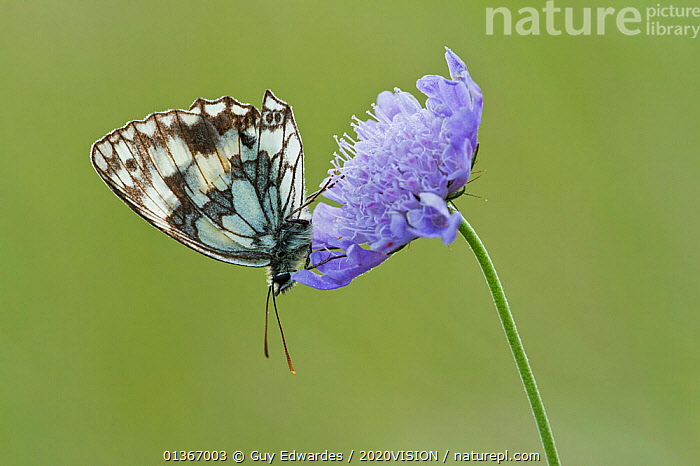 Marbled White Butterfly (Melanagria galathea) resting on Small Scabious (Scabiosa colombaria) flower, Badbury Rings, Dorset, UK, July. Did you know? The marbled white is actually a strikingly coloured member of the brown group of butterflies, not a white at all., 2020VISION,ARTHROPODS,BUTTERFLIES,CHALK DOWNLAND,ENGLAND,EUROPE,FARMLAND,FLOWERS,INSECTS,INVERTEBRATES,LEPIDOPTERA,NYMPHALIDAE,RESERVE,UK,United Kingdom,PICDAY,2020cc, Guy Edwardes / 2020VISION