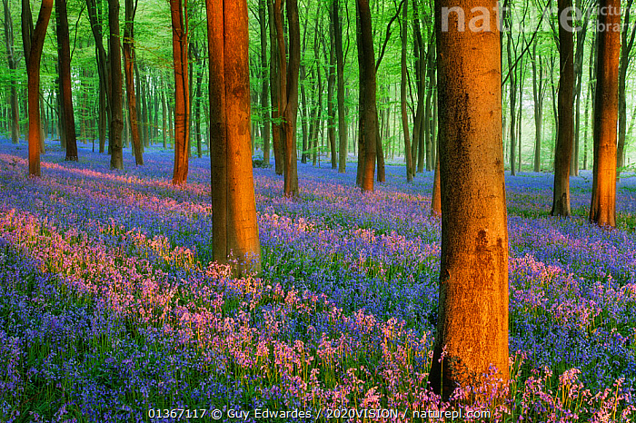 Carpet of Bluebells (Endymion nonscriptus) in Beech (Fagus sylvatica) woodland at dawn, Micheldever Woods, Hampshire, England, UK, April  ,  2020VISION,ARTY SHOTS,BLUE,BLUEBELL,BLUEBELLS,DAWN,ENGLAND,EUROPE,FLOWERS,FORESTS,SPRING,TREES,TRUNKS,UK,WOODLANDS,PLANTS,United Kingdom,2020cc  ,  Guy Edwardes / 2020VISION