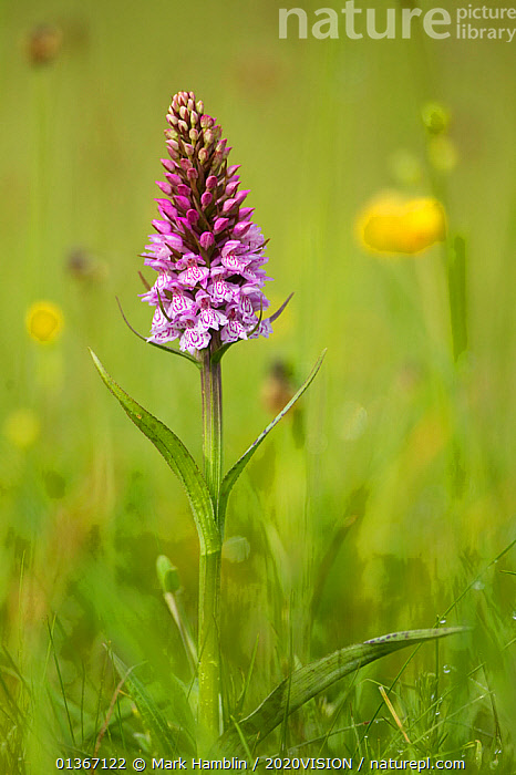Common spotted orchid (Dactylorhiza fuchsii), flower spike in meadow, UK, June  ,  2020VISION,FARMLAND,FARMS,FLOWERS,GRASSLAND,MEADOWLAND,MONOCOTYLEDONS,ORCHIDACEAE,ORCHIDS,PINK,PLANTS,UK,VERTICAL,Europe,United Kingdom,2020cc  ,  Mark Hamblin / 2020VISION