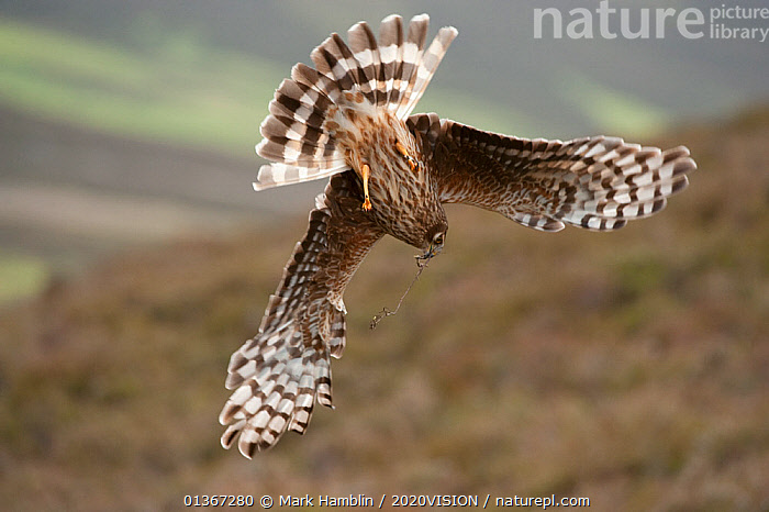 Hen harrier (Circus cyaneus) adult female diving to nest site, carrying nesting material, moorland habitat, Glen Tanar Estate, Grampian, Scotland, UK, June. Did you know? Although Hen harriers have been persecuted by gamekeepers for attacking game birds, their diet mainly consists of pipits and voles.  ,  2020VISION,ACCIPITRIDAE,ACTION,picday,BIRDS,BIRDS OF PREY,DIVING,EUROPE,FEMALES,FLYING,HARRIERS,LANDING,MOORLAND,NESTING BEHAVIOUR,PEATLAND,SCOTLAND,UK,VERTEBRATES,United Kingdom,2020cc  ,  Mark Hamblin / 2020VISION