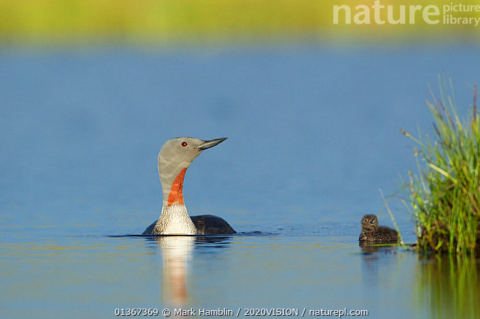 Red-throated diver (Gavia stellata) adult and young chick on breeding loch, Flow Country, North Scotland, UK, July, Europe,United Kingdom, Mark Hamblin / 2020VISION