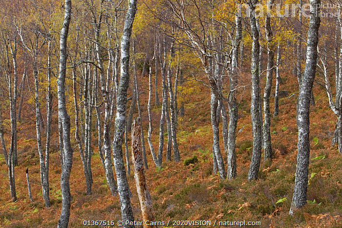 Trunks of Silver birch trees (Betula pendula) in autumn woodland, Rothiemurchus Forest,  Cairngorms NP, Highlands, Scotland, UK, October  ,  2020VISION,AUTUMN,BETULA VERRUCOSA,BETULACEAE,CALEDONIAN PINEWOODS,CONIFEROUS,DICOTYLEDONS,EUROPE,FORESTS,LANDSCAPES,NP,PINE FOREST,PLANTS,SCOTLAND,TREES,TRUNKS,UK,WOODLANDS,National Park,United Kingdom  ,  Peter Cairns / 2020VISION
