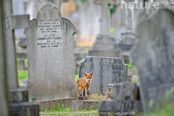 Urban Red fox (Vulpes vulpes) cub amongst graves, West London cemetery, UK, June. 2020VISION Exhibition. 2020VISION Book Plate.Did you know? Red fox cubs are born with dark brown fur and blue eyes, but by around 5 weeks they have developed more rust coloured fur and amber eyes., 2020VISION,2020vision book plate,2020vision exhibition,CANIDS,CARNIVORES,picday,CITIES,CUBS,ENGLAND,EUROPE,FOXES,Graveyard,JUVENILE,MAMMALS,UK,URBAN,VERTEBRATES,United Kingdom,Dogs,2020cc, Terry Whittaker / 2020VISION