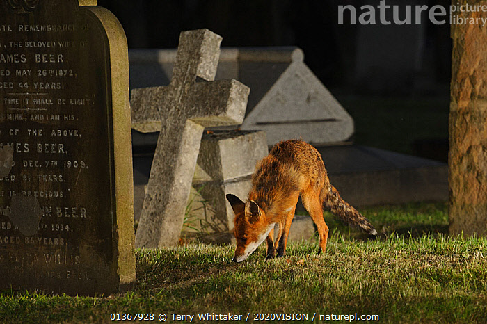 Male urban Red fox (Vulpes vulpes) sniffing ground near graves, West London cemetery, UK, May. Did you know? Foxes have 28 different calls to communicate with each other, as well as a number of visual signals.  ,  2020VISION,BEHAVIOUR,CANIDS,CARNIVORES,CITIES,ENGLAND,EUROPE,FOXES,GRAVES,GRAVEYARD,MALES,MAMMALS,NIGHT,picday,SMELLING,UK,URBAN,VERTEBRATES,United Kingdom,Dogs,2020cc  ,  Terry Whittaker / 2020VISION